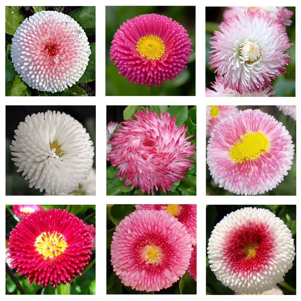 Details about english daisy double mix 500 seeds elegant details about english daisy double mix 500 seeds elegant beautiful cut flower combsh a67 izmirmasajfo Image collections