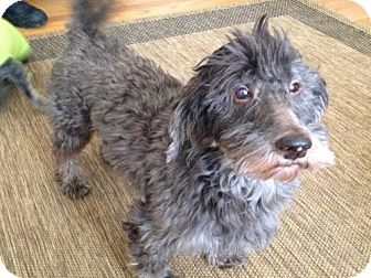 Roanoke Va Havanese Meet Hershey Currently In Foster A Dog For Adoption Kitten Adoption Dog Adoption Havanese