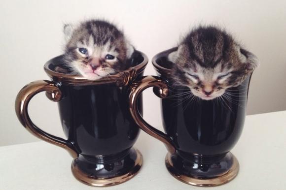 Two Cute Newborn Kittens Sleeping In Tea Cups Kittens Cutest