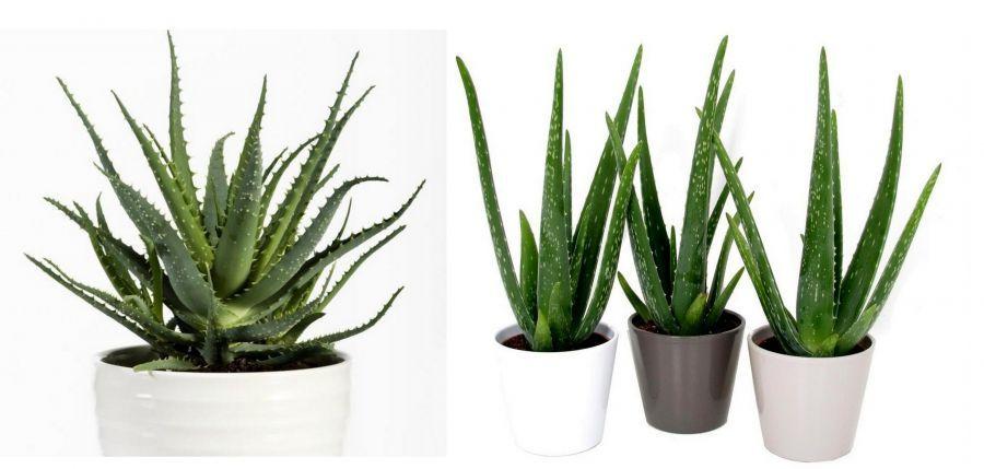 Prozdrowotne Rosliny Doniczkowe Ktore Warto Miec W Domu Cactus Plants Plants Garden