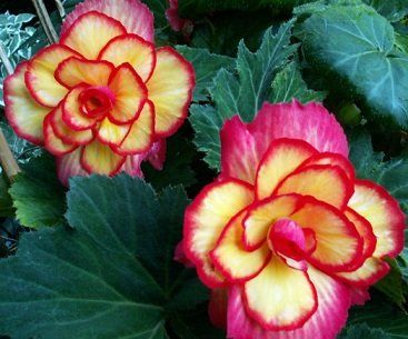 How To Grow Begonias From Cuttings Flower Seeds Begonia Flowers