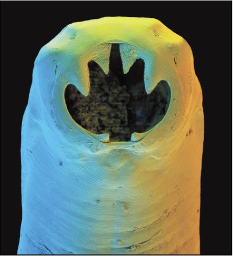un vierme sub microscop