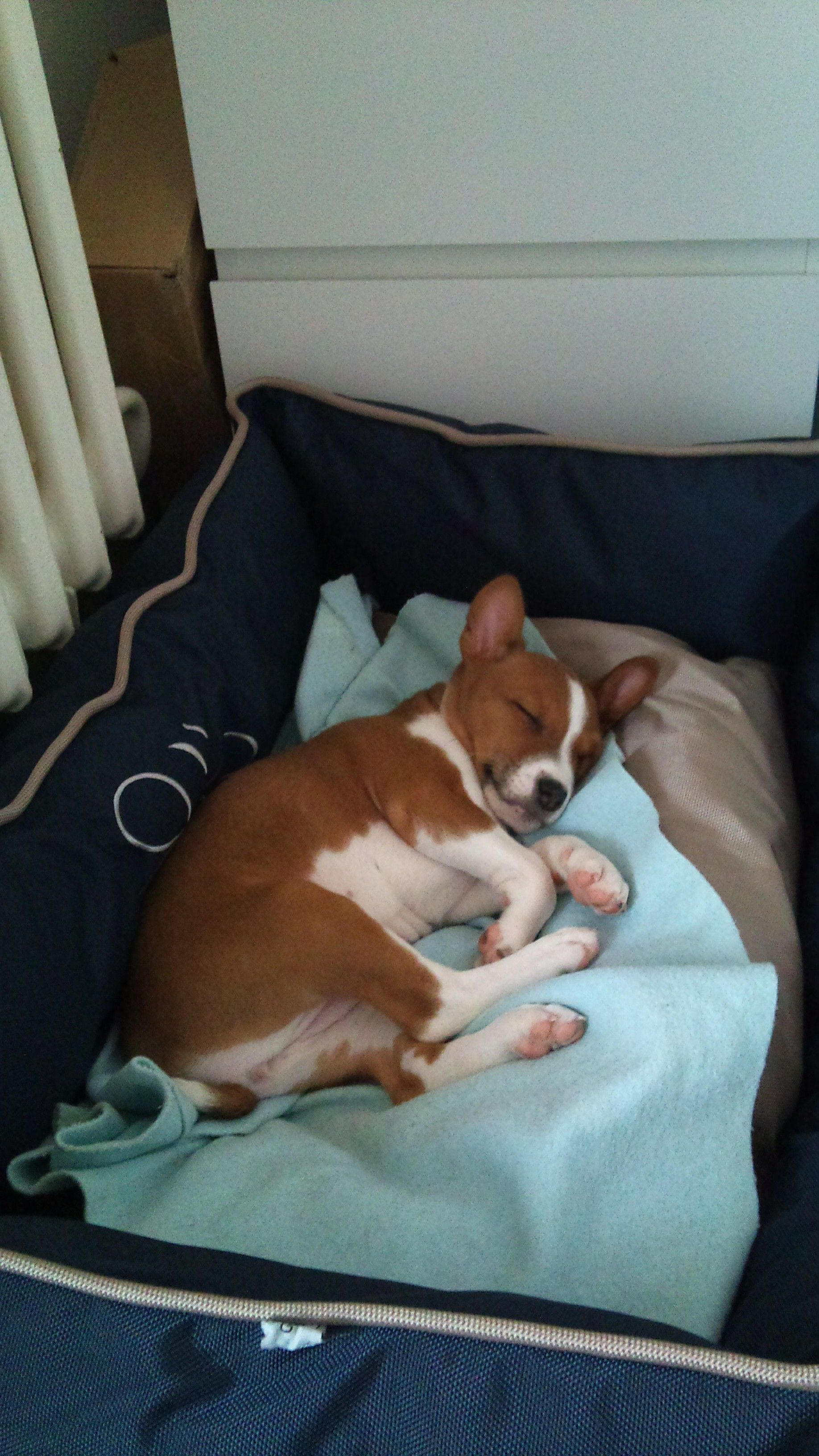 For A Comfortable Ride Basenji dogs, Basenji puppy