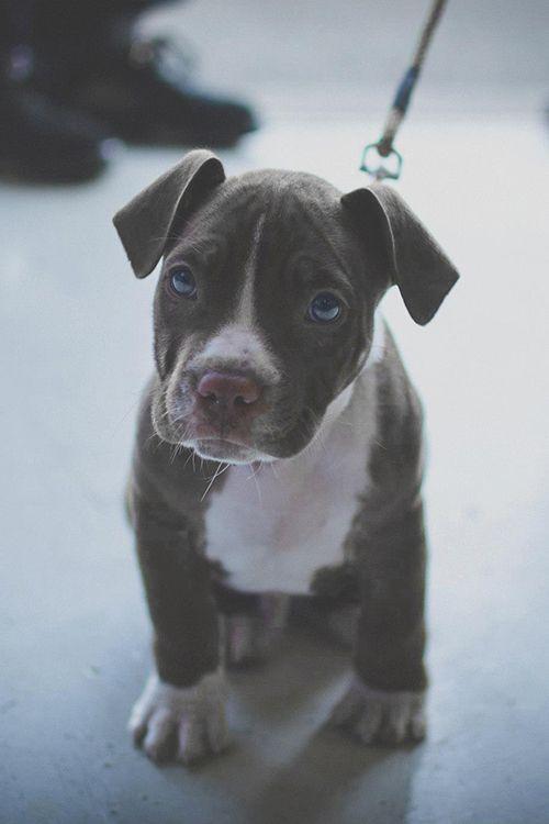 Blue Pit Je Mit Bildern Pitbull Terrier Hunde Welpen Hunde
