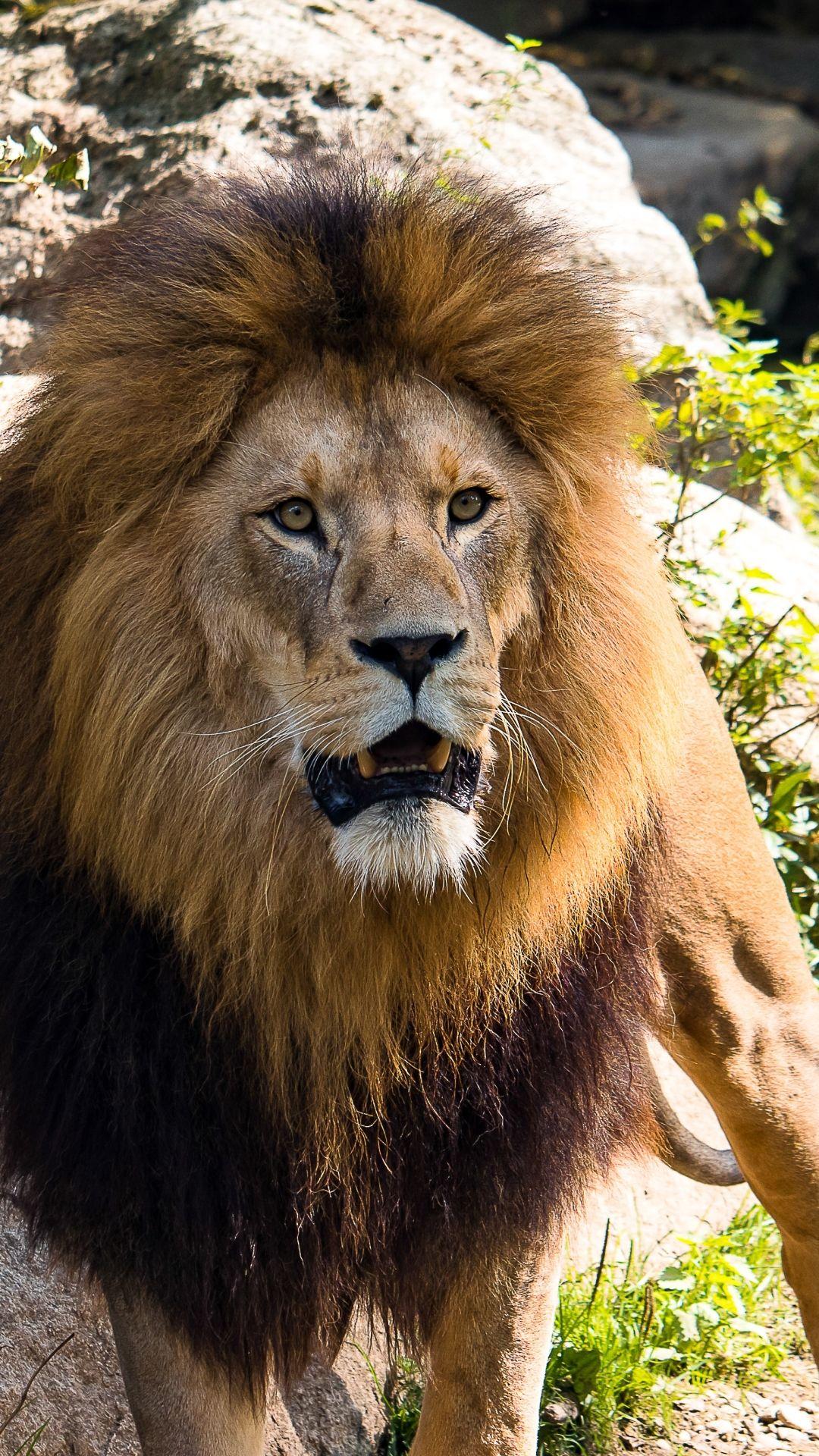 Lion Pride Wallpaper