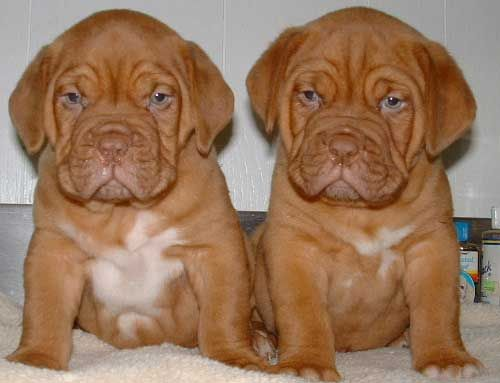 Mastiff Puppy Twins..wow.. just a couple of twins looking