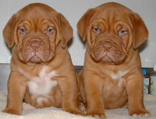 Eastern Mountain Mastiff Puppies French Mastiff Dog Mastiff Dogs