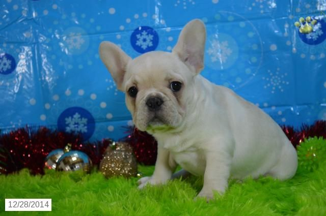 French Bulldog Puppy for Sale in Ohio http//www