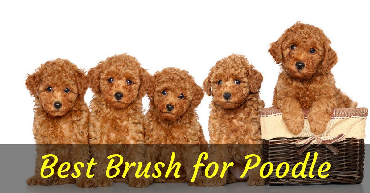 Golden doodle grooming tips Toy poodle puppies, Teacup