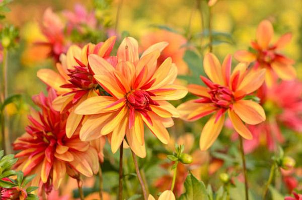 A fabulous Double Orchid Dahlia, 'Jescot Julie ' is a real standout with its vivid burnt orange petals that have a darker, almost plum-colored, underside and lush bright green foliage.
