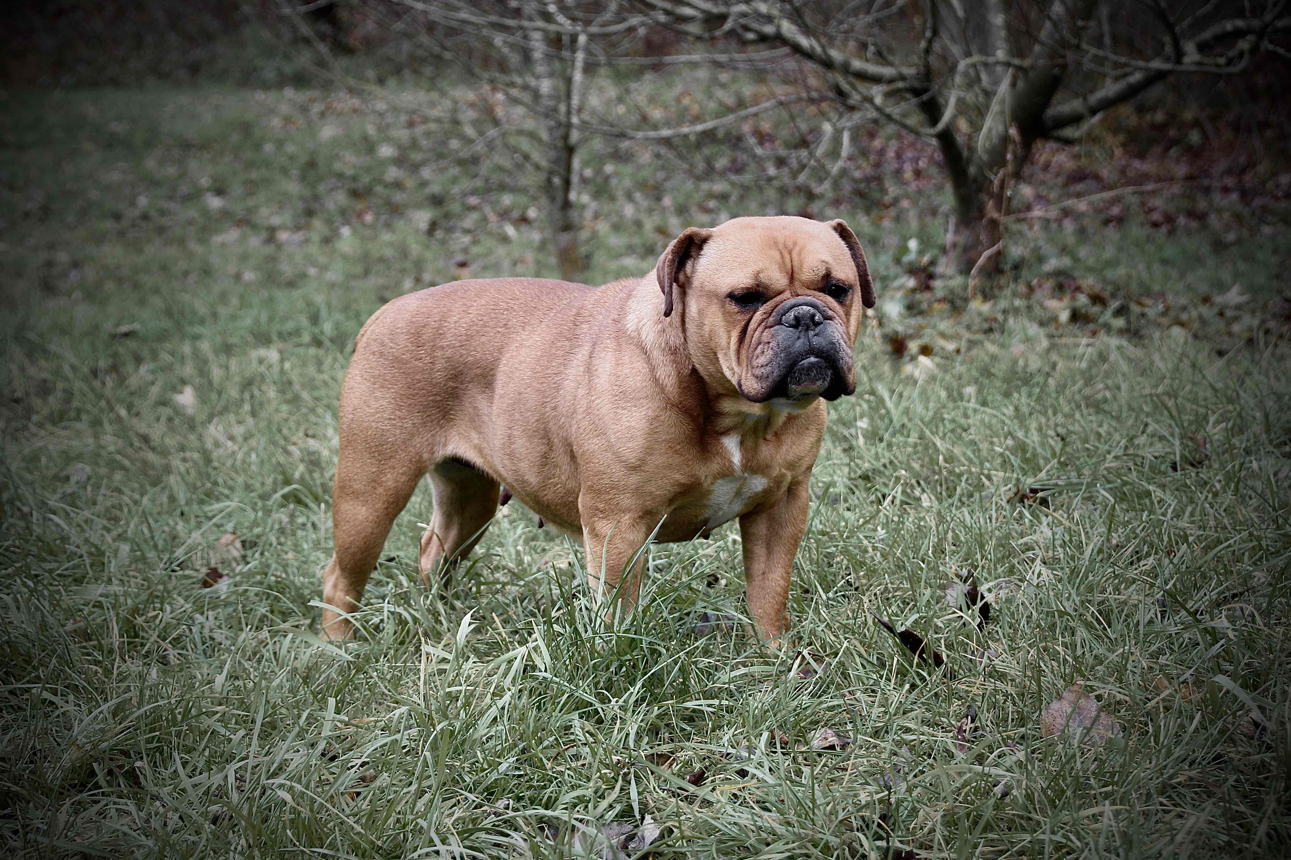 Ap Flame Continental Bulldog Bulldogge Welpen