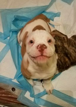 Litter Of 9 American Bulldog Puppies For Sale In Blacksburg Va