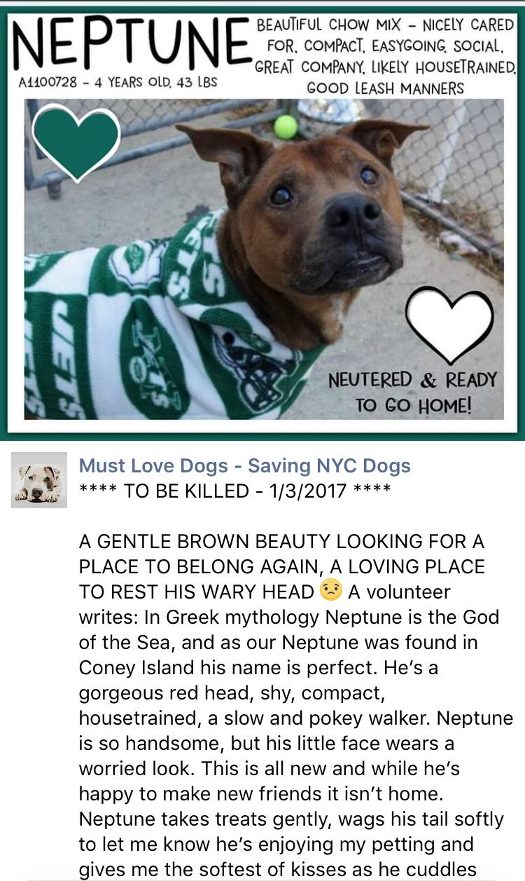 Safe 1 4 17 By Posh Pets Rescue Thank You Manhattan Center My Name Is Neptune My Animal Id Is A1100728 I Am A Ne Nyc Dogs Black Mouth Cur My Animal