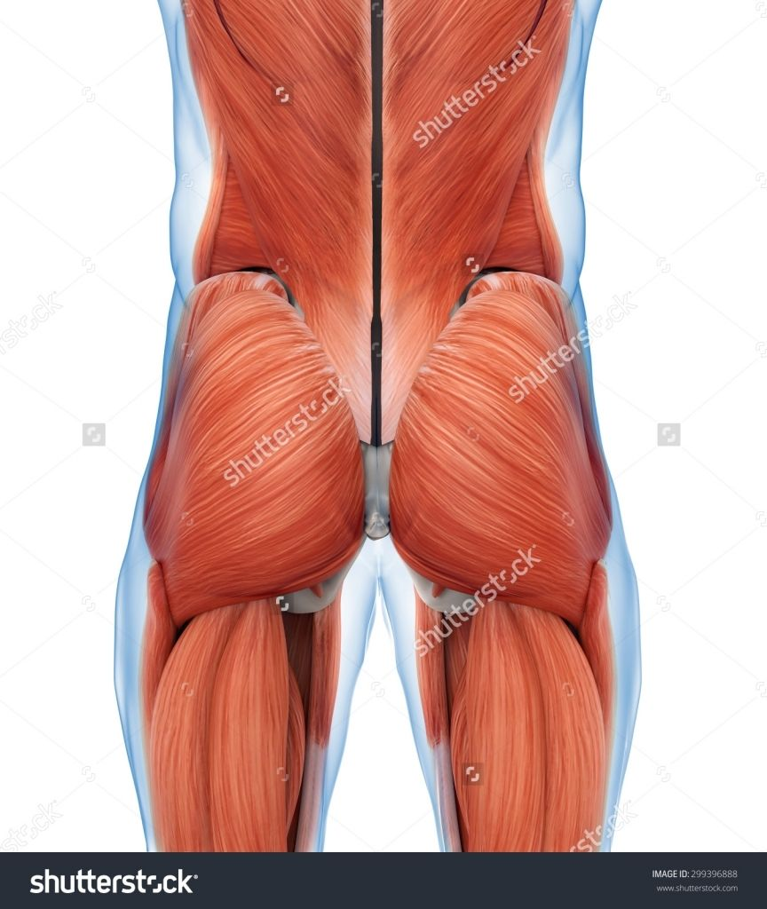 Buttock muscle anatomy