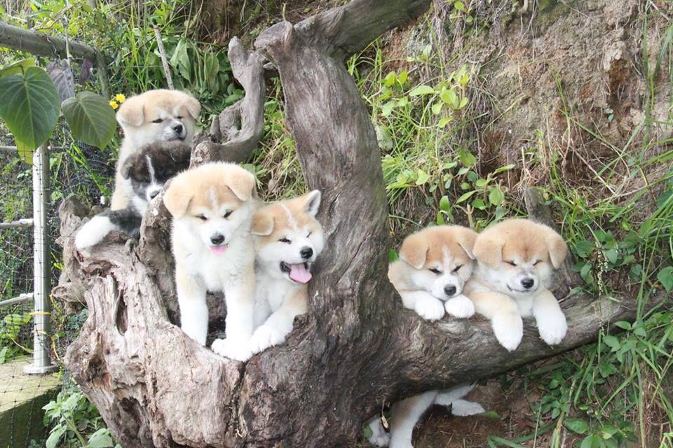 Pin By Katrina Ho On Akita Akita Dog Japanese Dogs Japanese