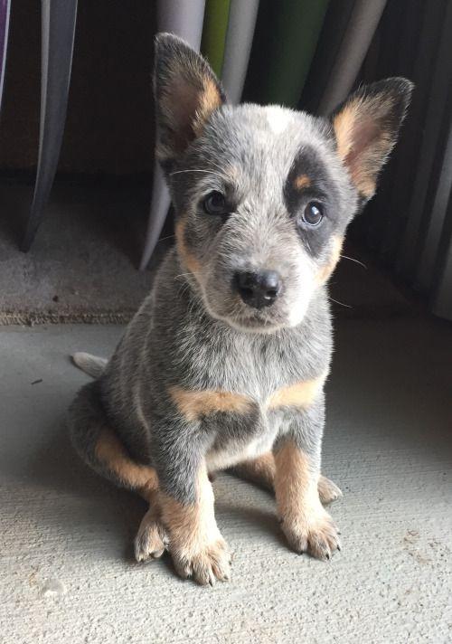 Hi Reddit Meet Maka Cute Pets Cutepets Pet Babblepets Austrailian Cattle Dog Cute Baby Animals Heeler Puppies