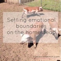 As a farmer, I often get asked how it is that I can raise, kill and eat my own animals, especially when I have raised them from babies. How do you set emotional boundaries? Don't you get attached to them?  The truth is, I'm a animal lover. That's how I CAN raise them, kill them and eat them. I