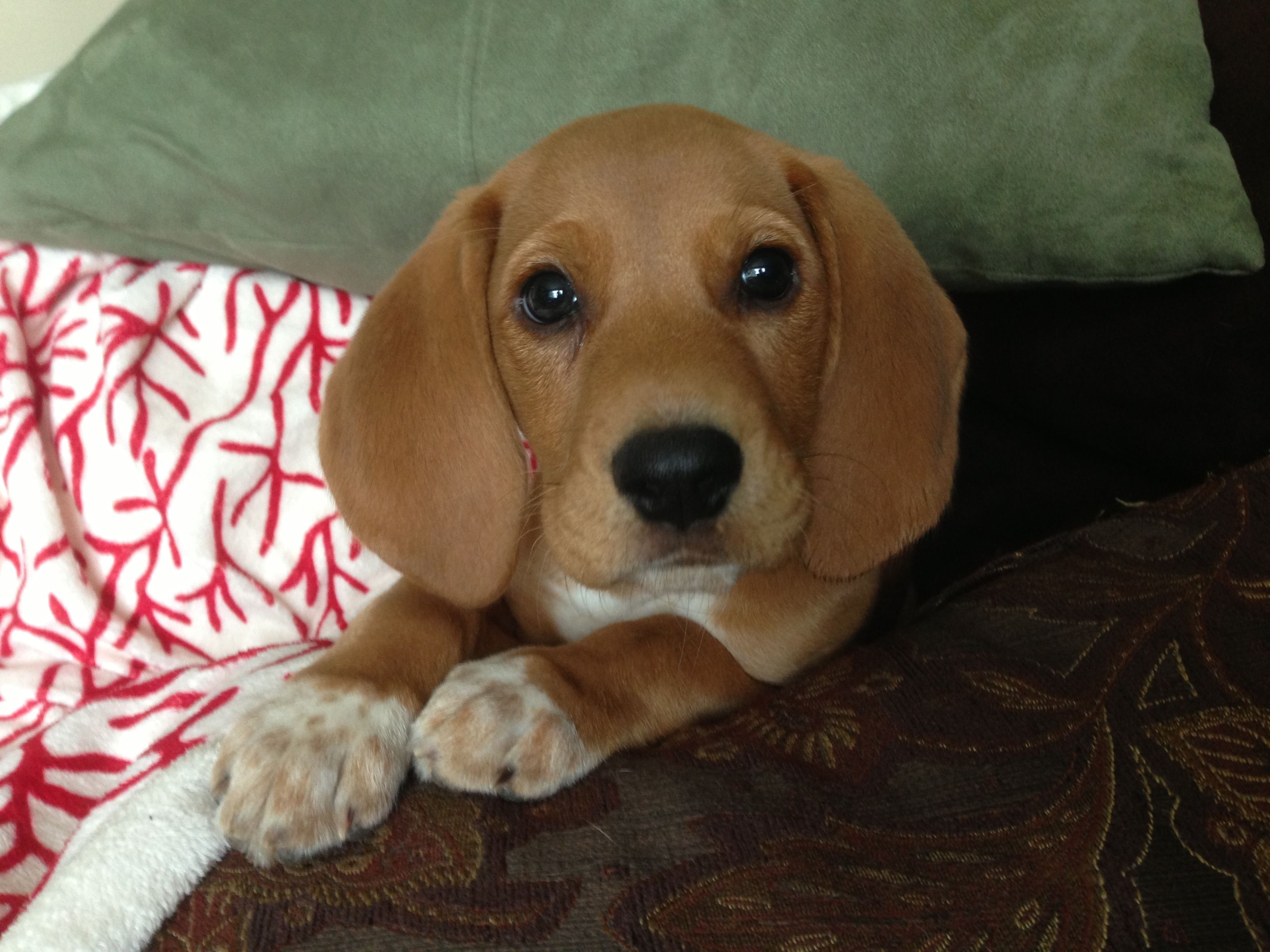 Daisy Redbone Coonhound Coonhound Puppy Redbone Coonhound