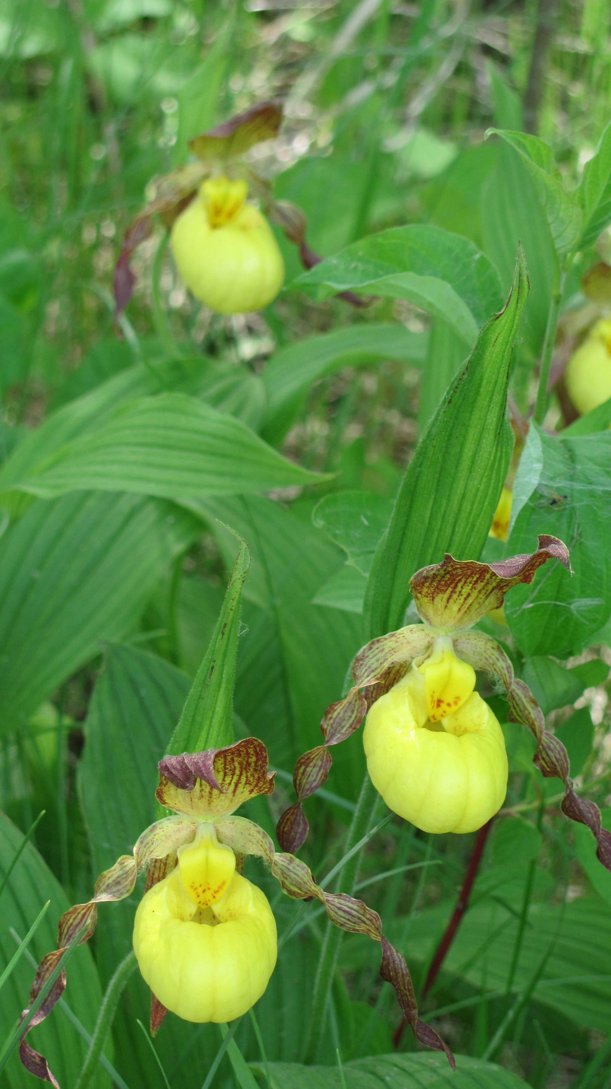 Yellow Lady Slipper Flowers Pinterest Ladies Slippers Plants