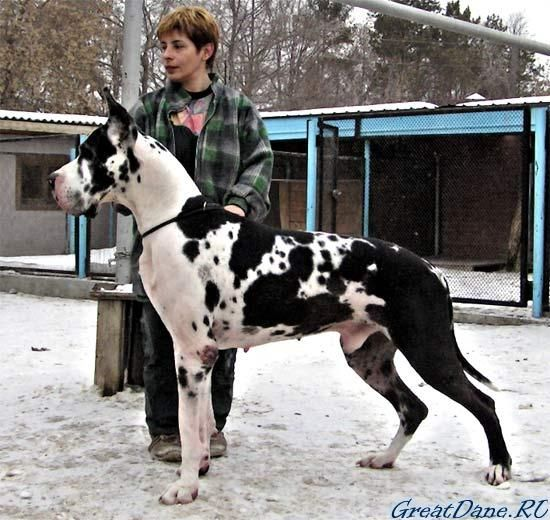 gray harlequin great dane puppies - Google Search