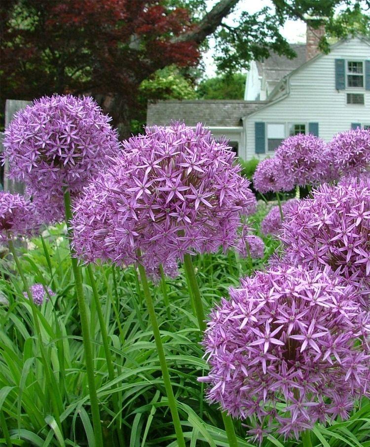 Allium Globemaster Bulb Flowers Plants Fall Bulbs