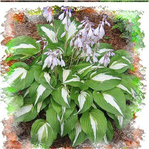 Hosta Night Before Christmas, source to buy | Perennials Shade ...