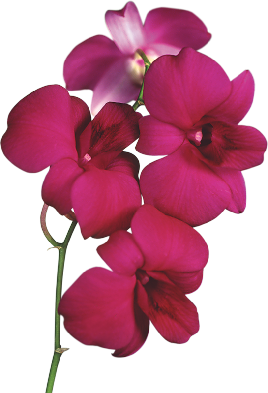 Transparent Red Orchid PNG Clipart | Imani wedding ...