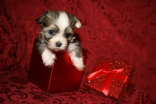 Litter of 7 Havanese puppies for sale in OSWEGO, NY  ADN