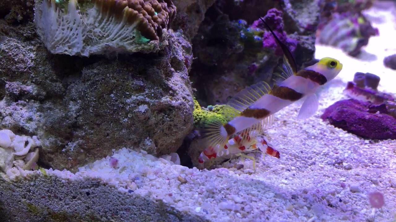 Hi Fin Goby R Fish Marine Invertebrates