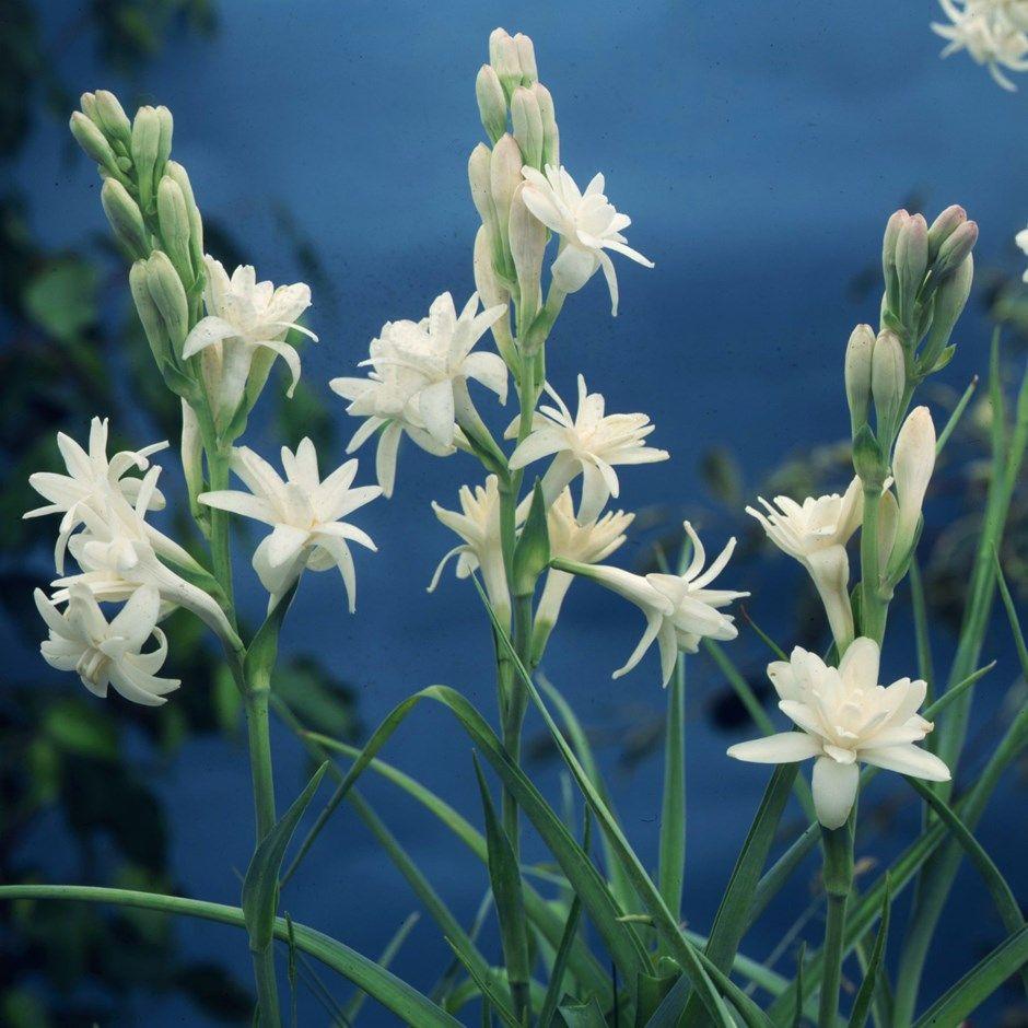 Polianthes tuberosa 'The Pearl' Hawaiian garland flower