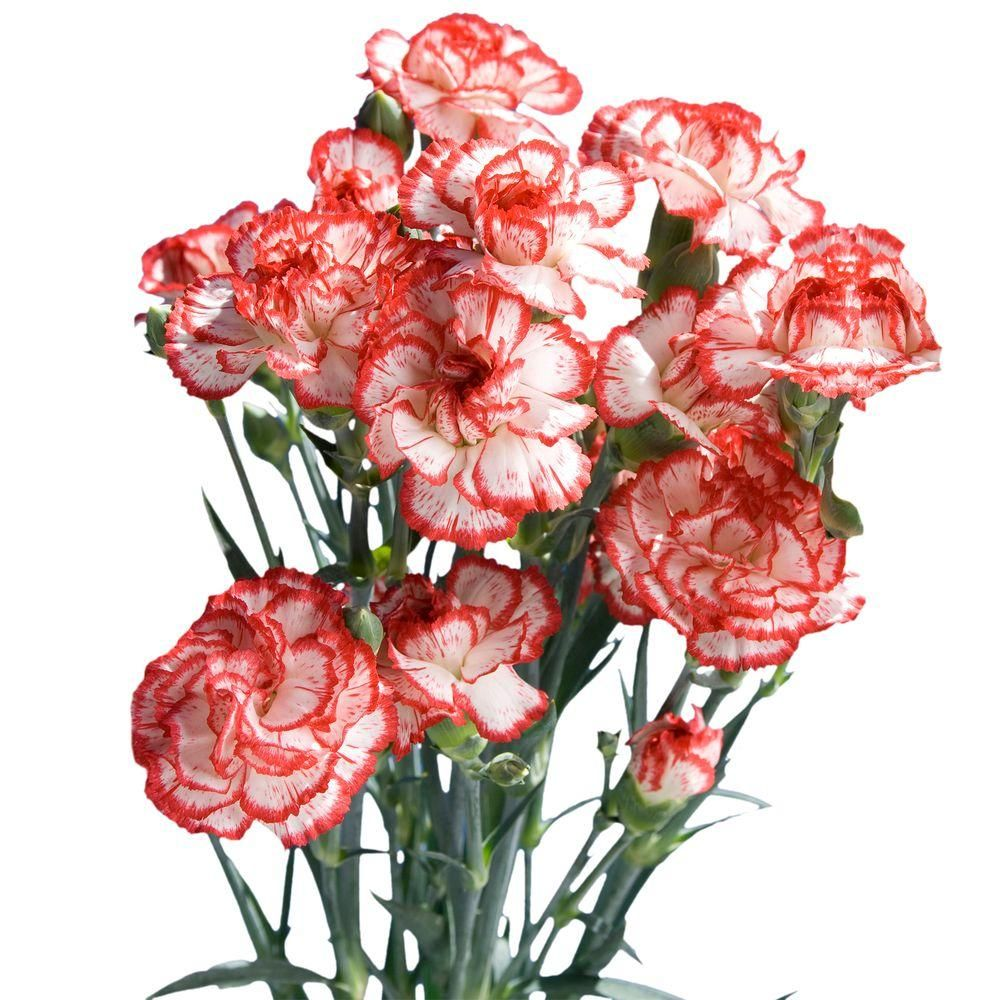 Globalrose Fresh Christmas Color Mini Carnations 160 Stems 640 Blooms Xmas Spray Carnations Medium 160 The Home Depot In 2020 Mini Carnations Carnations Carnation Flower