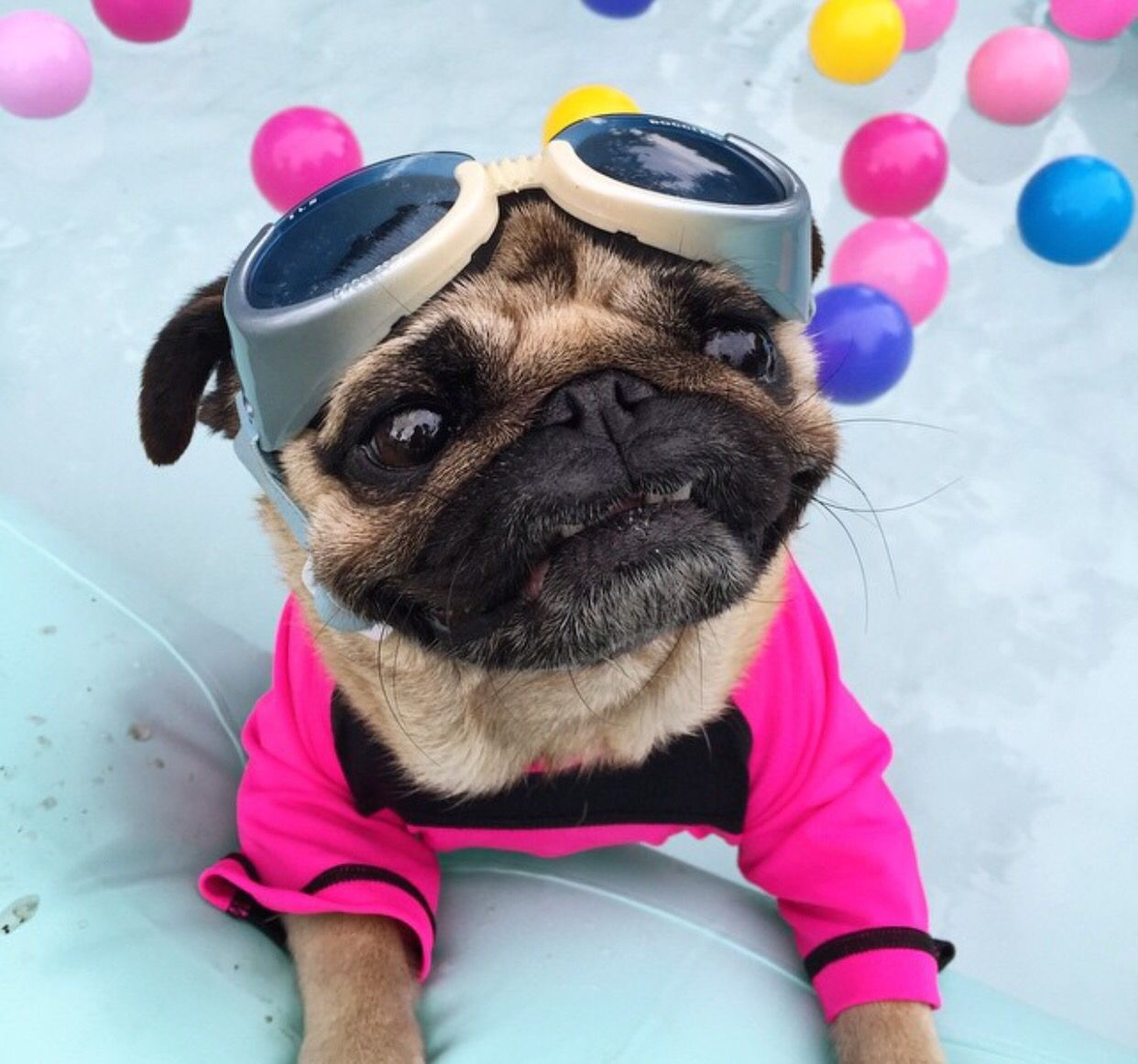 Why Are You Looking At Me Like That Oh My Pink Pug Pugs