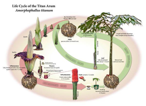 Titan Arum Archive Titan Arum Corpse Flower Bunga Bangkai Titan Arum Corpse Flower Amorphophallus Titanum