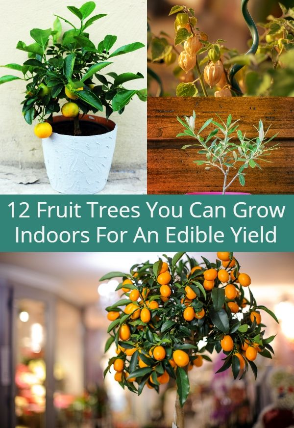 12 Fruit Trees You Can Grow Indoors For An Edible Yield 400 x 300