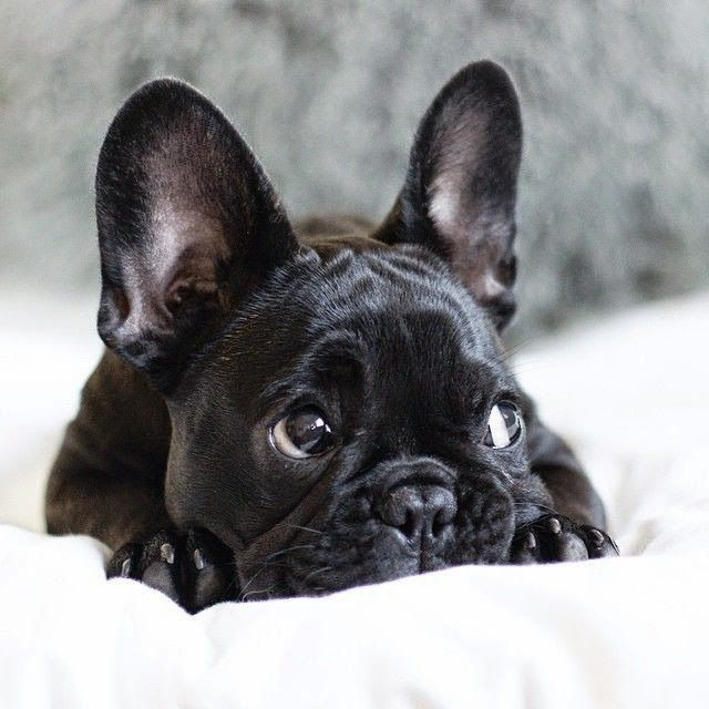 Pet S We Love Top 5 Cutest Small Dog Breeds Cute Small Dogs French Bulldog Puppies Cute Puppies
