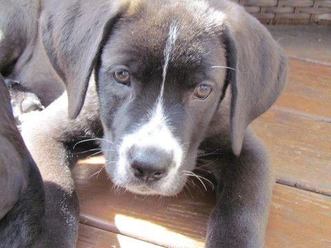 Litter of 7 Labrador Retriever-Saint Bernard Mix puppies for