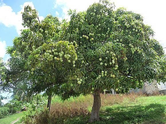 Faire pousser un manguier partir de la graine d 39 une mangue jardinage pinterest mangue - Faire pousser un bananier ...