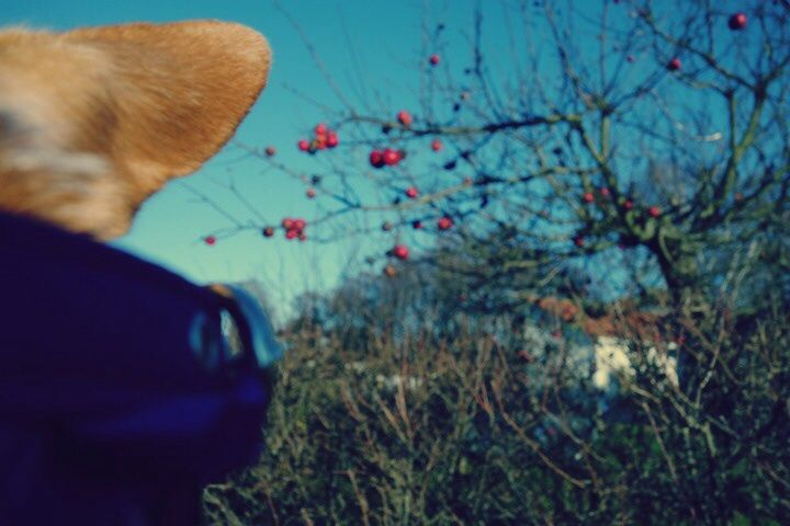 Chihuahua (Emma's ear) and apples. The Buttons. http://the-buttons.tumblr.com