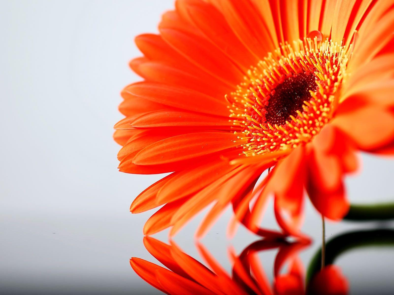 Desktop Wallpaper Gallery Nature Orange Gerbera Daisy Flower Gerbera Flower Gerbera Daisy Orange Flowers