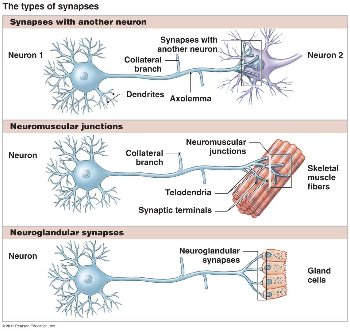 types of synapses neuroscience pinterest neuroscience. Black Bedroom Furniture Sets. Home Design Ideas