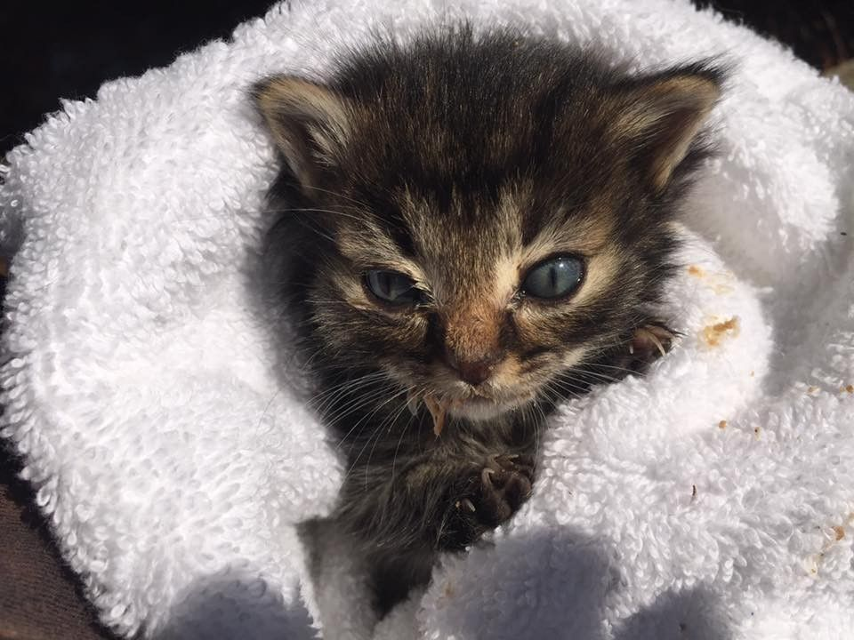 Tiniest 5 Week Old Kitten They Ever Rescued What A Difference 3 Days Can Make Feral Kittens Cats And Kittens Animal Rescue Stories