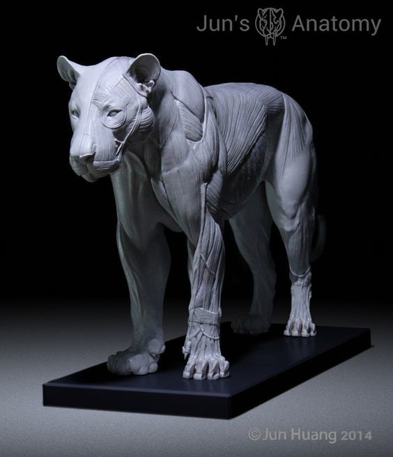 ArtStation - Lion anatomy model, Jun Huang | Tutorials and Reference ...