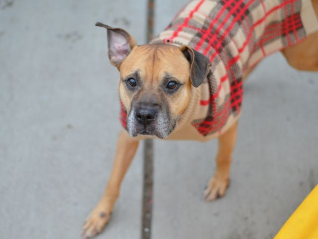 SAFE 11-25-15 BY SECOND CHANCE RESCUE - THANK YOU!! SUPER URGENT Brooklyn Center RUSTY – A1058218 MALE, BROWN / BLACK, PIT BULL MIX, 10 yrs OWNER SUR – EVALUATE, NO HOLD Reason LLORDPRIVA Intake condition EXAM REQ Intake Date 11/17/2015