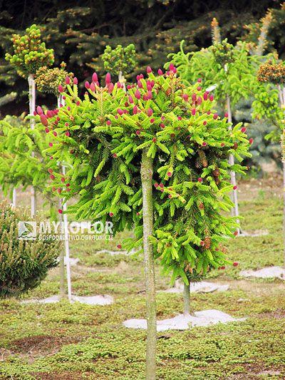 W Naszej Szkolce Dostepny Jest Rowniez W Sprzedazy Picea Abies Pusch Szczepiony Na Pniu Picea Abies Plants Dwarf Conifers