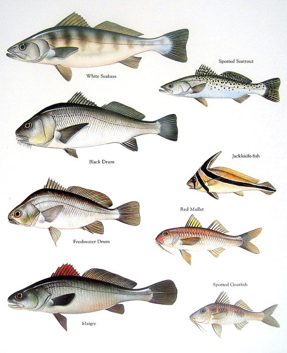 Fish print white seabass black drum spotted by for Black drum fishing