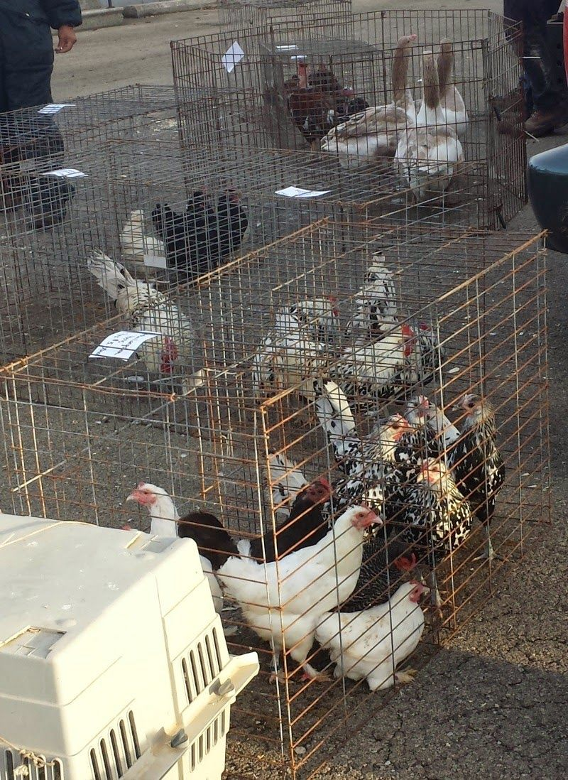Where do I go to buy and sell backyard chickens, turkeys