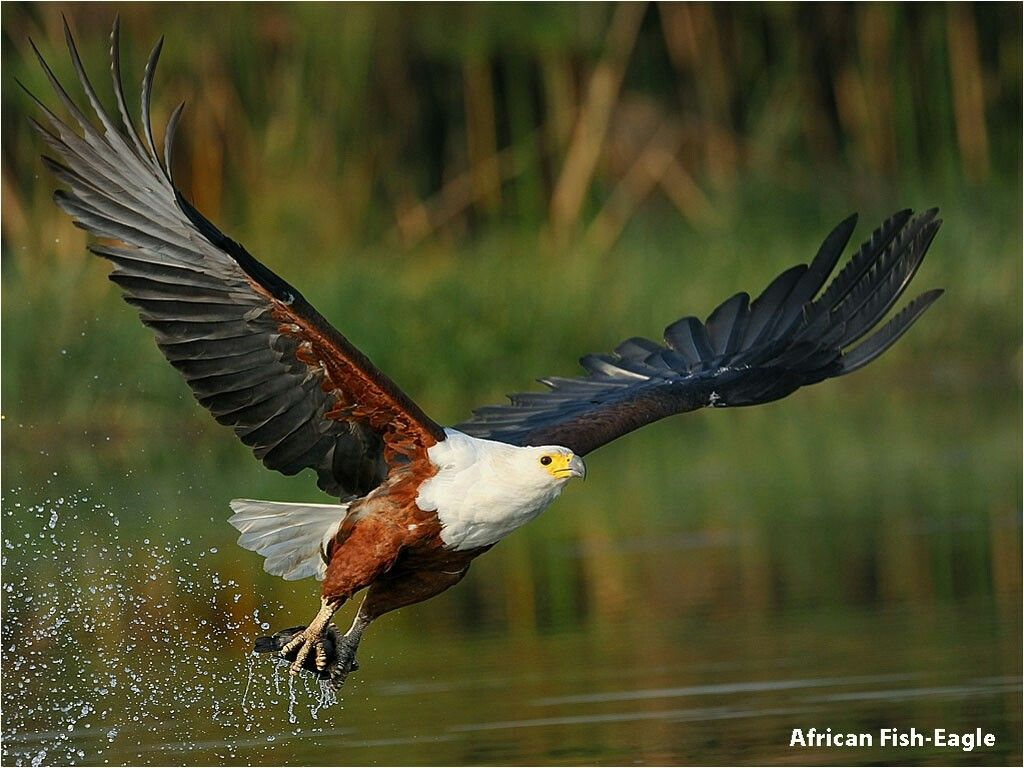African Fish Eagle South African Animals Eagle Pet Birds