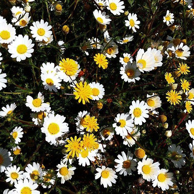 Camomila marítima  #nature #flower