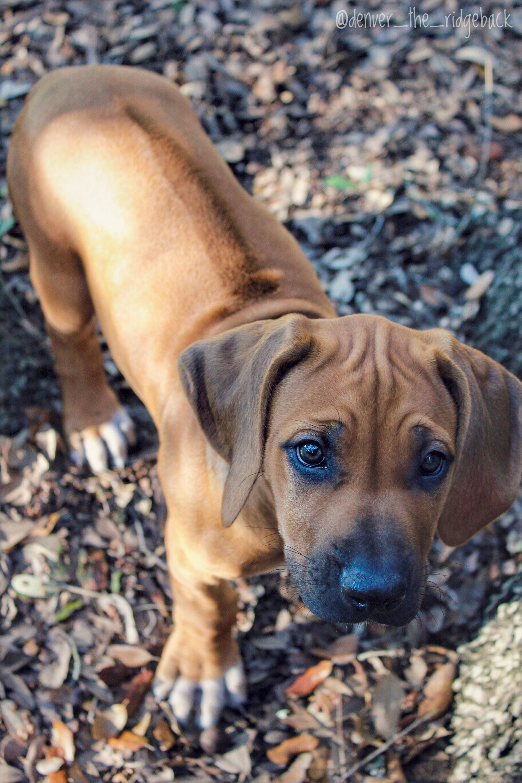 rhodesian ridgeback pup Hundeblick, Süßeste haustiere