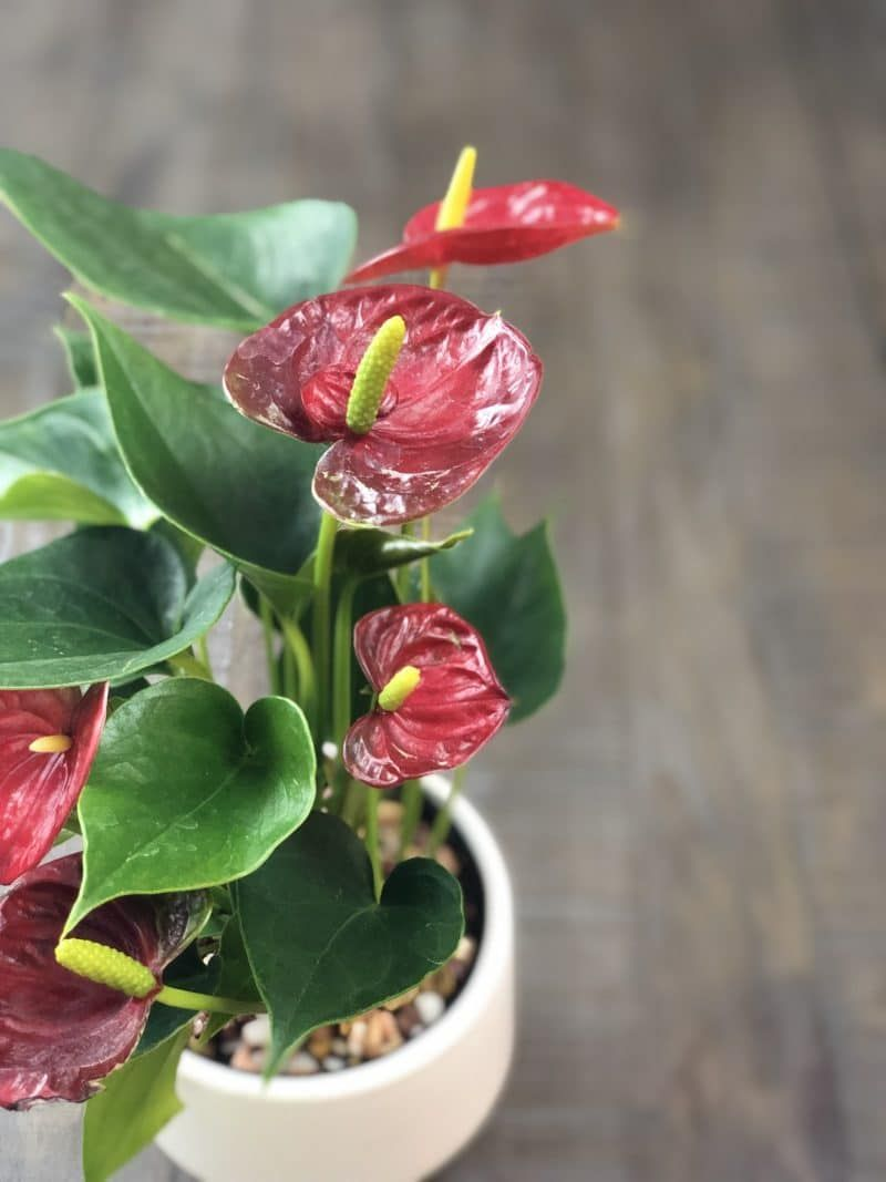 Anthuriums How To Care For This Long Blooming And Tropical Houseplant Em 2020